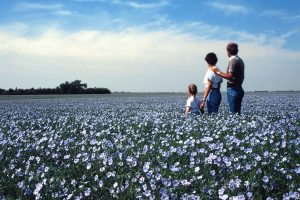 A field of blooming flax (Source: Courtesy of SasFlax, Flax Council of Canada, FC2015 Inc.)