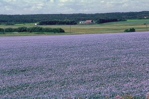 A field of blooming flax (Courtesy of SaskFlax, Flax Council of Canada, FC2015, Inc.)