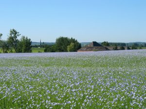 A field of blooming flaxseed in Belgium (Wikimedia Commons)